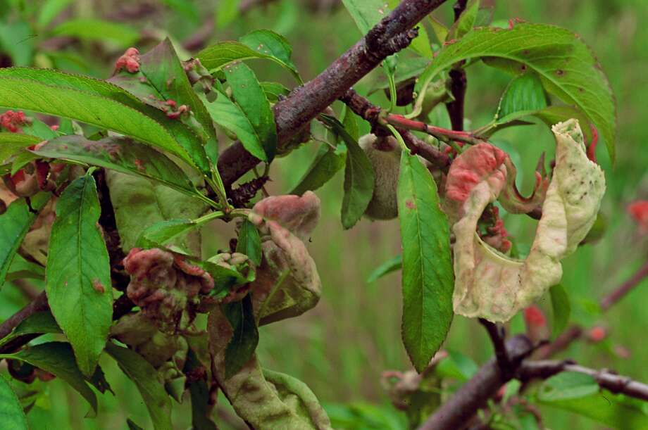 Deformed leaves, blisters, and white and pink discoloration are all signs of the fungus disease peach leaf curl. Photo: Pam Peirce