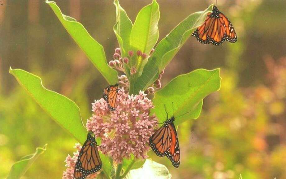 Monarchs spend their entire life on milkweed plants. (Photo provided by Spirit of the Woods Garden Club)