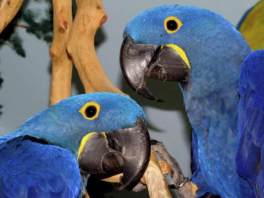 At Birdie Bash 2019 in Middletown, bird lovers can shop, mingle, learn from experts and meet falcons and exotic birds like these hyacinth macaws. The Parrot Club's biggest annual event, Birdie Bash 2019, features activities for wild and exotic bird enthusiasts Nov. 2 from 10 a.m. to 4 p.m. Photo: Contributed Photo