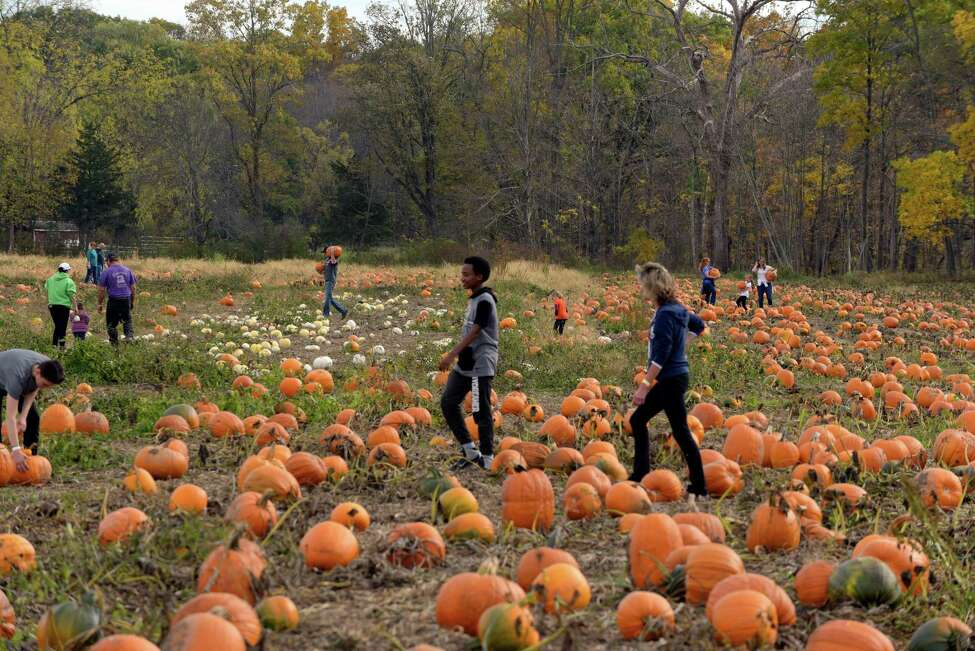 Families pick out their pumpkins in the field at Stanton's Feura Farm (Paul Buckowski / Times Union)
