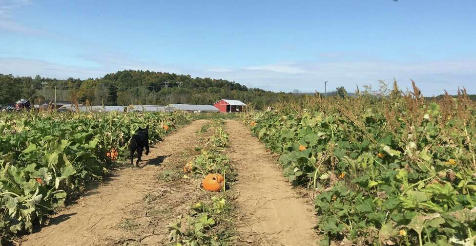 Shadow bounding through the the pumpkin fields at Stanton's Feura Farm (photo by Amy Biancolli)