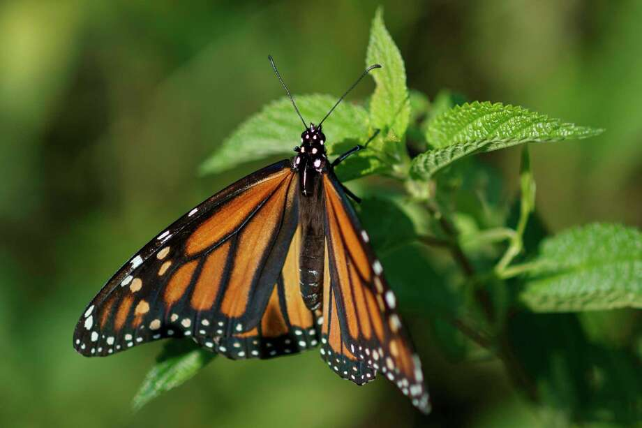 FILE - In this Monday, July 29, 2019 file photo a monarch butterfly rests on a plant at Abbott's Mill Nature Center in Milford, Del. Seventeen states sued the Trump administration Wednesday, Sept. 25, 2019, to block rules weakening the Endangered Species Act, saying the changes would make it tougher to protect wildlife even in the midst of a global extinction crisis. (AP Photo/Carolyn Kaster,File) Photo: Carolyn Kaster / Carolyn Kaster/Associated Press / Copyright 2019 The Associated Press. All rights reserved