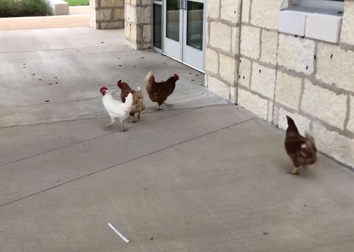 Henny, Penny, Denice, and Angel gorge themselves on a feast of crickets at Van Raub Elementary School in Boerne on Tuesday.