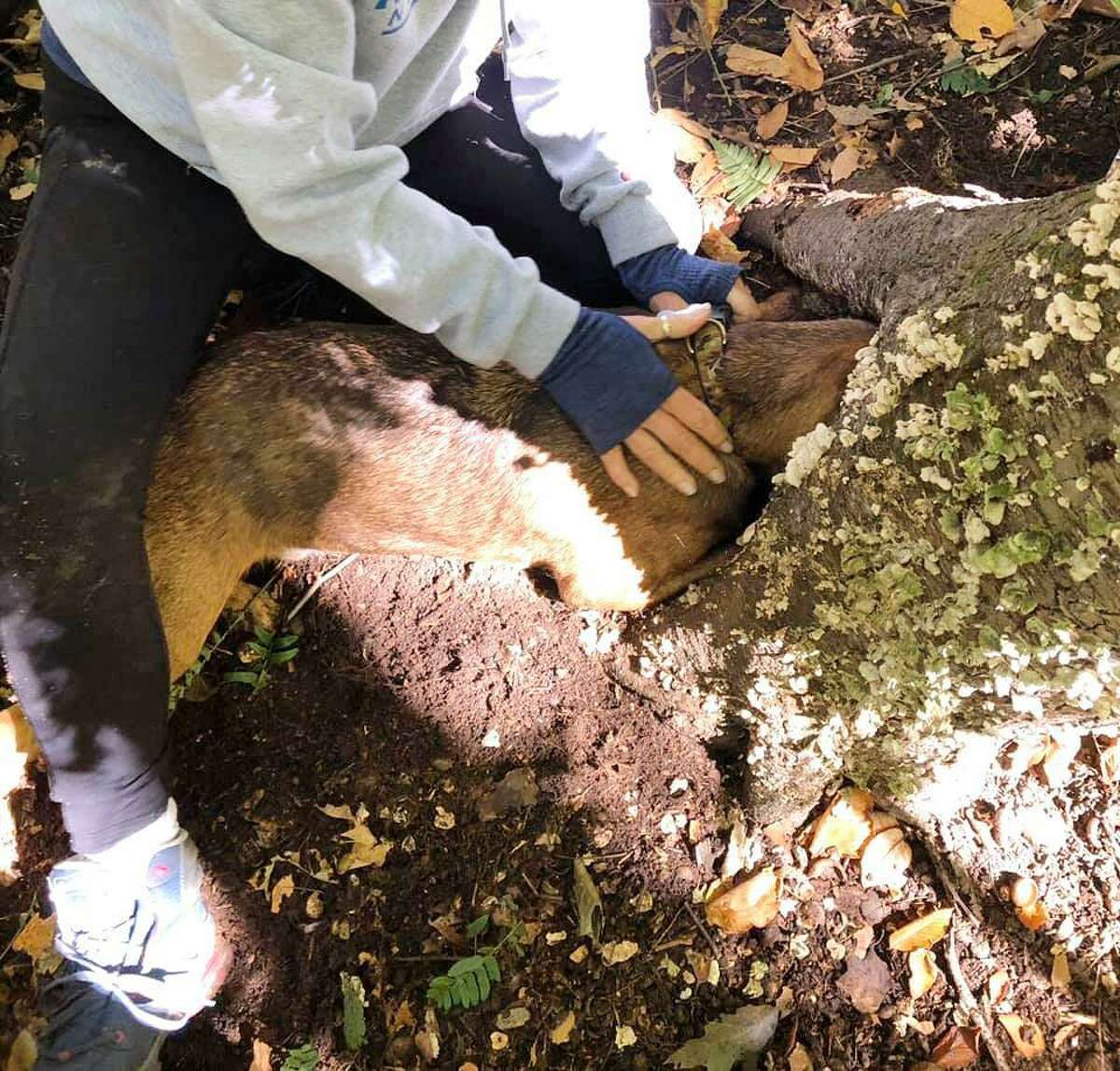 A dog got his head got stuck in the stump of a dead tree in Wilton.