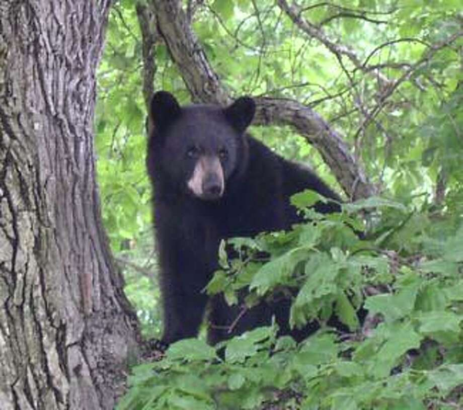 The state continues to get reports of black bear sightings. On Aug. 27, the Easton Police Department reported on its Facebook page that a bear had been seen in town. Photo: Contributed /Connecticut Department Of Energy And Environmental Protection