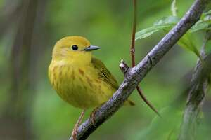 The yellow warbler is one of the 389 bird species in North American threatented by extinction due to global warming.