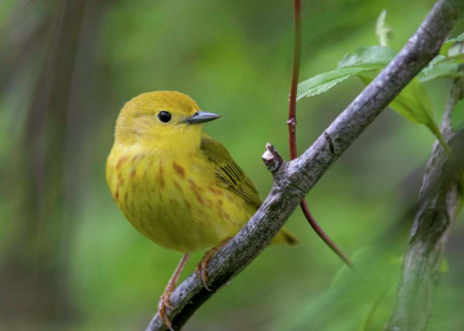The yellow warbler is one of the 389 bird species in North America threatened by extinction. Photo: Brian Collier / Audubon Photography Awards /