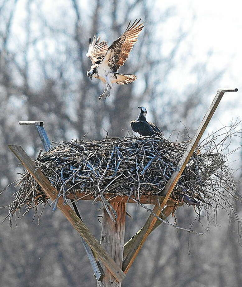 Ospreys prepare their nest to have young on a stand at the West River Memorial Park in New Haven.