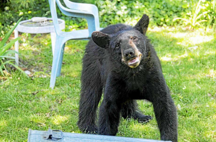 622 bear 2