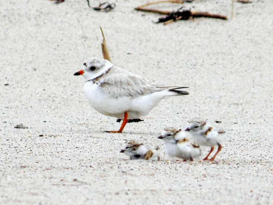 People are advised to fish, swim and play at least 50 yards away from the beach nesting areas of piping plovers and other shorebirds.