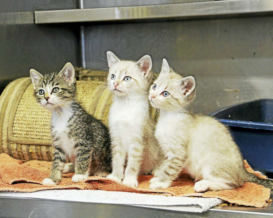 CONTRIBUTED PHOTO/FRED DRAY Kittens ready for new homes.