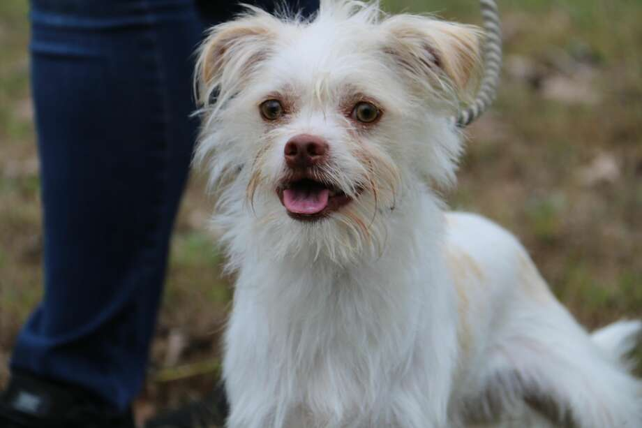 Bailey is a male, young adult, non-shedding, terrier mix dog, about 12 pounds