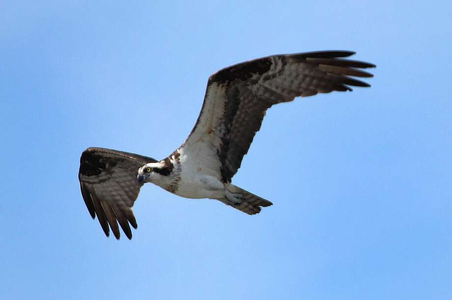 An Osprey soars over the Norwalk River in Norwalk.