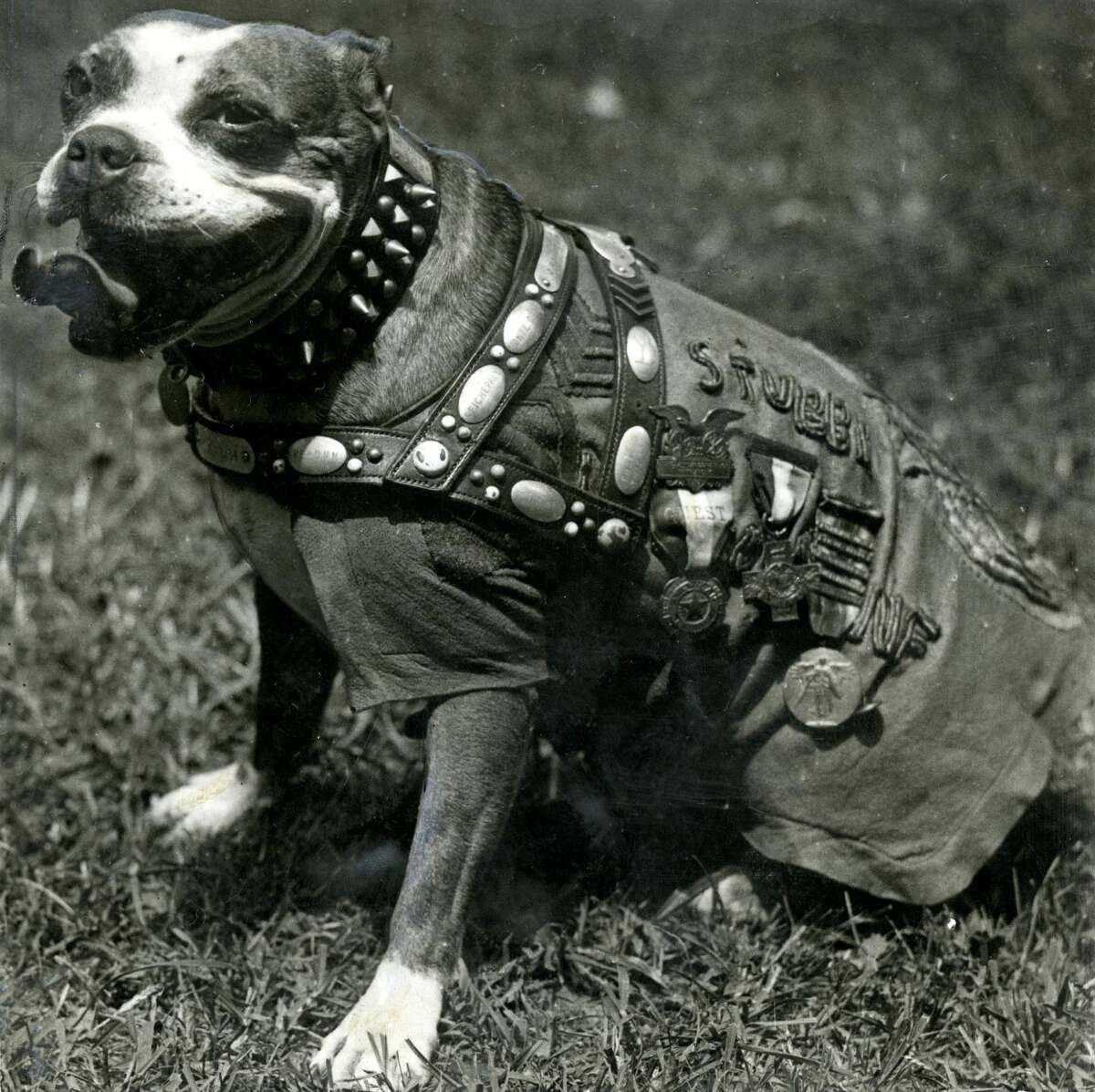 Stubby the bulldog mascot of the A.E.F. (WWI) taken August 7, 1921