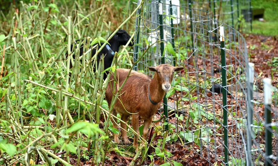 Goats eat invasive plants in a 2.5 acre section of Edgewood Park in New Haven on Thursday.