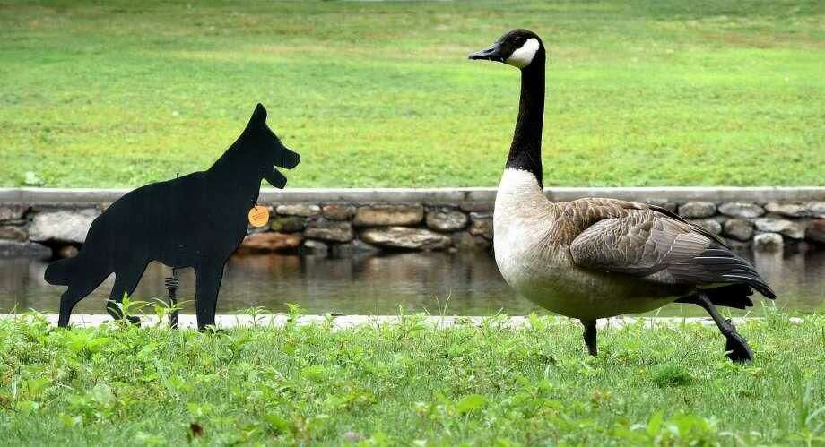 A Canada goose ignores a dog decoy at the North Street Duck Pond in Milford. The problem of Canada geese was the subject of Mayor Benjamin Blake's State of the City speech