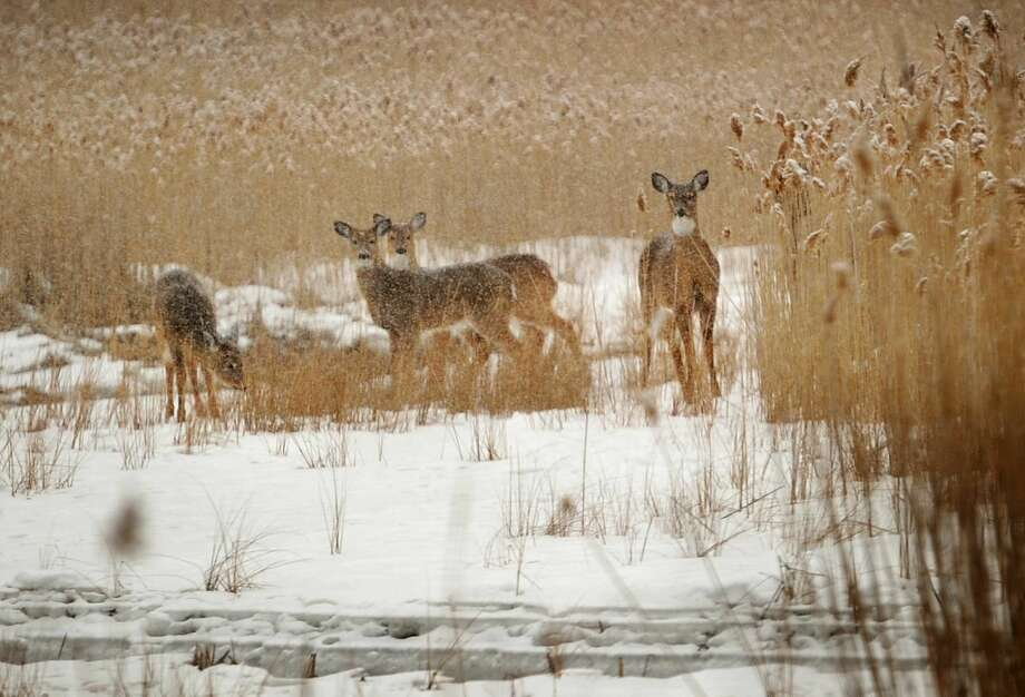 A family of deer forages in the snow in the marshes off Richard White Way in Fairfield in March 2015.