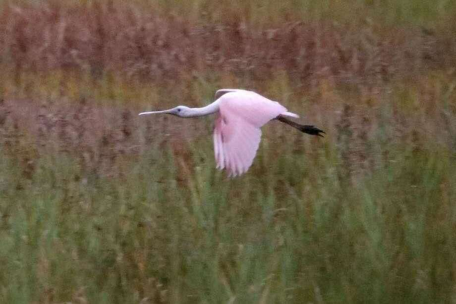 This roseate spoonbill, a waterbird rarely seen this far north, has made an appearance in the marsh at the mouth of the Housatonic River.