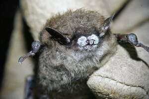 A bat photographed with white-nose syndrome.
