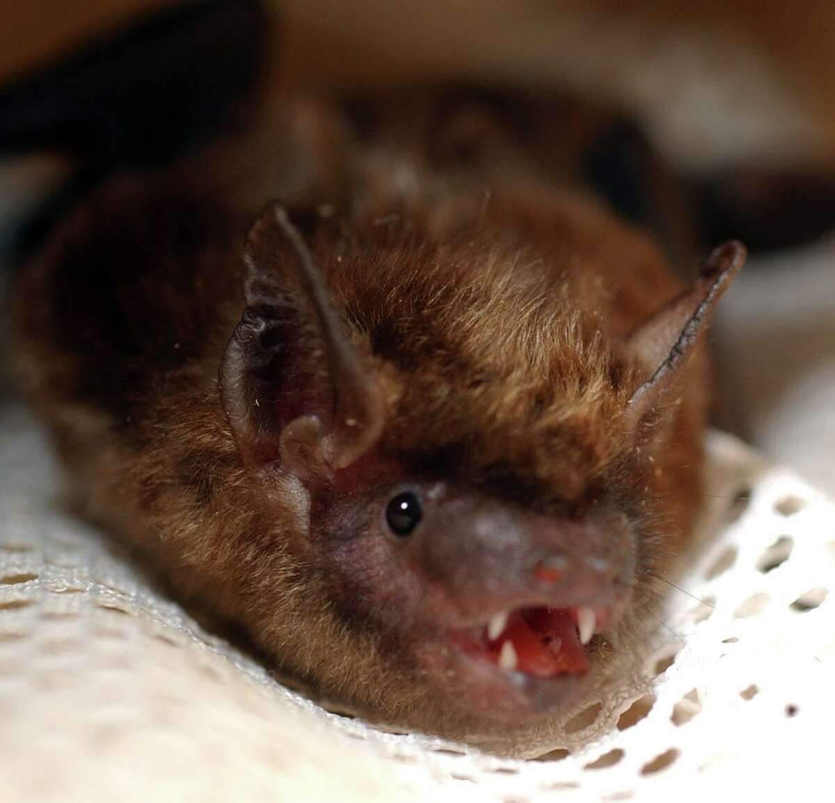 A Big Brown Bat, one of the most common bats in Connecticut.