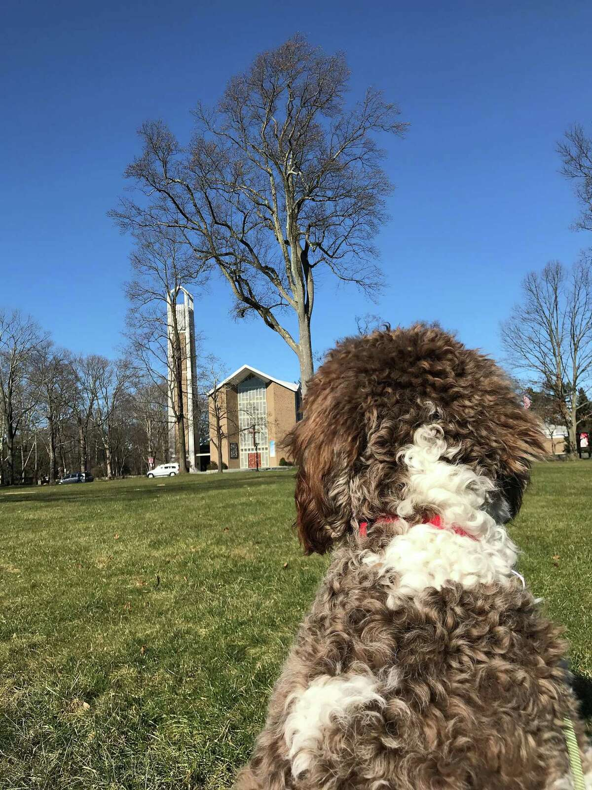 Frances, a Goldendoodle, looks over the great lawn at St. Mark's Episcopal Chuch on Oenoke Ridge, where she has joined the staff as a pastoral care dog. The New Canaan Men's Club usually meets on Fridays at St. Mark's for the club's regular weekly meeting, but it has canceled all of its activities until further.