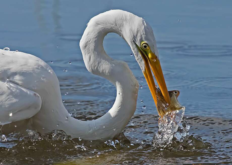 A Great Egret with a fresh perch dinner it caught in Saginaw Bay, at Rose Island on a recent afternoon. Photo: Bill Diller/For The Tribune