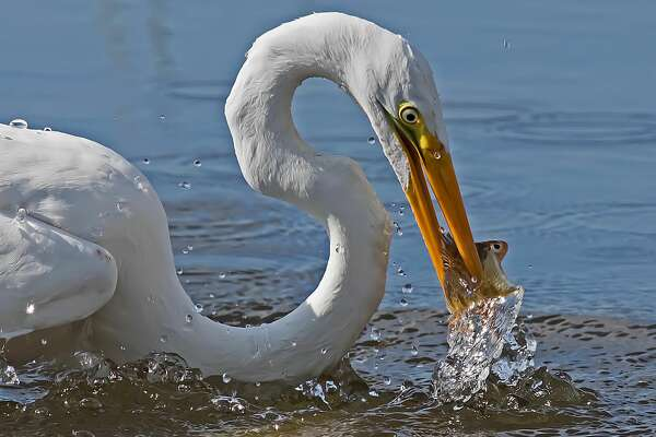 A Great Egret with a fresh perch dinner it caught in Saginaw Bay, at Rose Island on a recent afternoon.