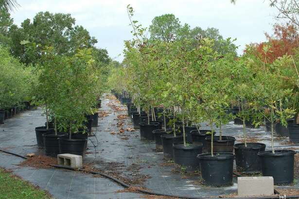 """Trees donated by Trees for Houston wait to be planted at Exploration Green in Clear Lake. Pasadena parks director Jed Aplaca would like to develop such a facility combining green space, parkland and drainage detention in Pasadena. """"We have several areas along Armand Bayou that could essentially be used as more parkland,"""" Aplaca says."""