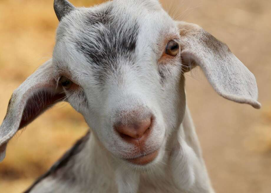 A Florida woman has filed a lawsuit seeking either a paternity test on her goats or a refund — and she's not kidding. Photo: Pixabay