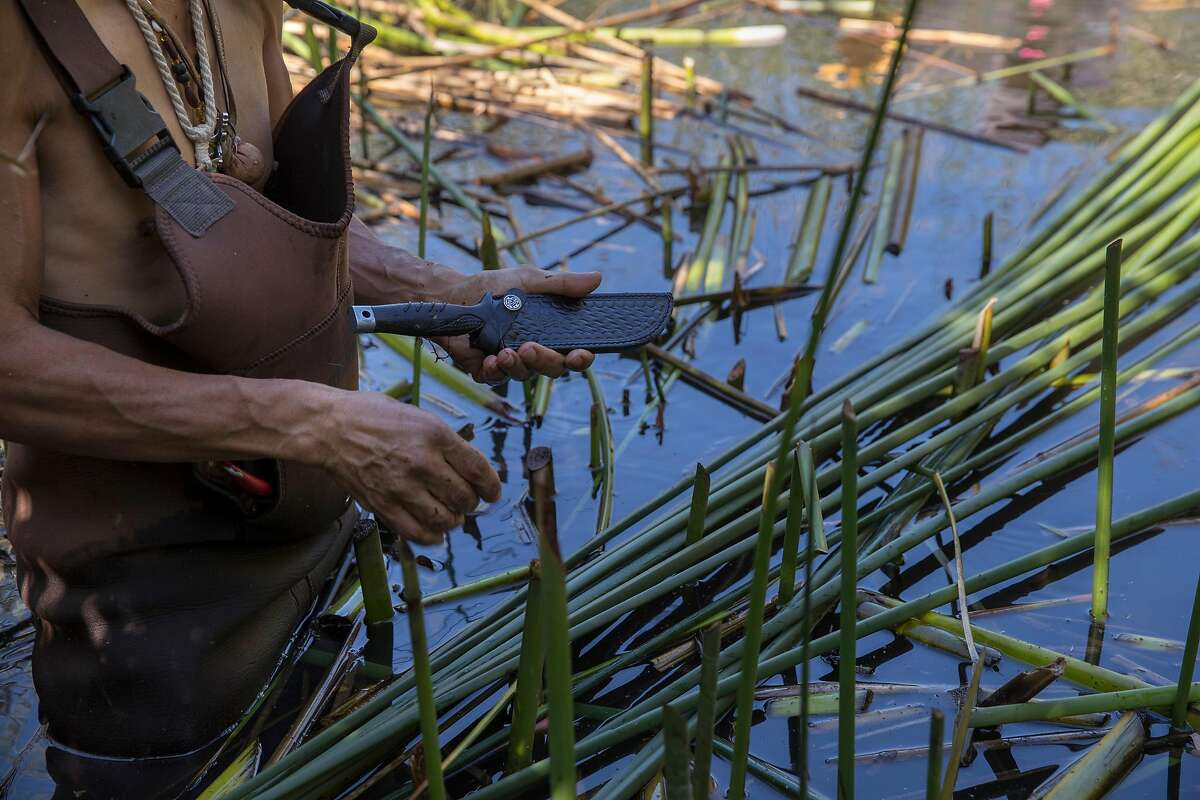Antonio Moreno, an Ohlone Indian, harvests tule reeds from Mountain Lake with the help of the Presidio Trust, to build a traditional Ohlone boat in San Francisco, Calif., on Wednesday, September 25, 2019. He and other members of the tribe will paddle to Alcatraz Island on Indigenous Peoples' Day to commemorate the occupation of the island by local Indian tribes in 1969.