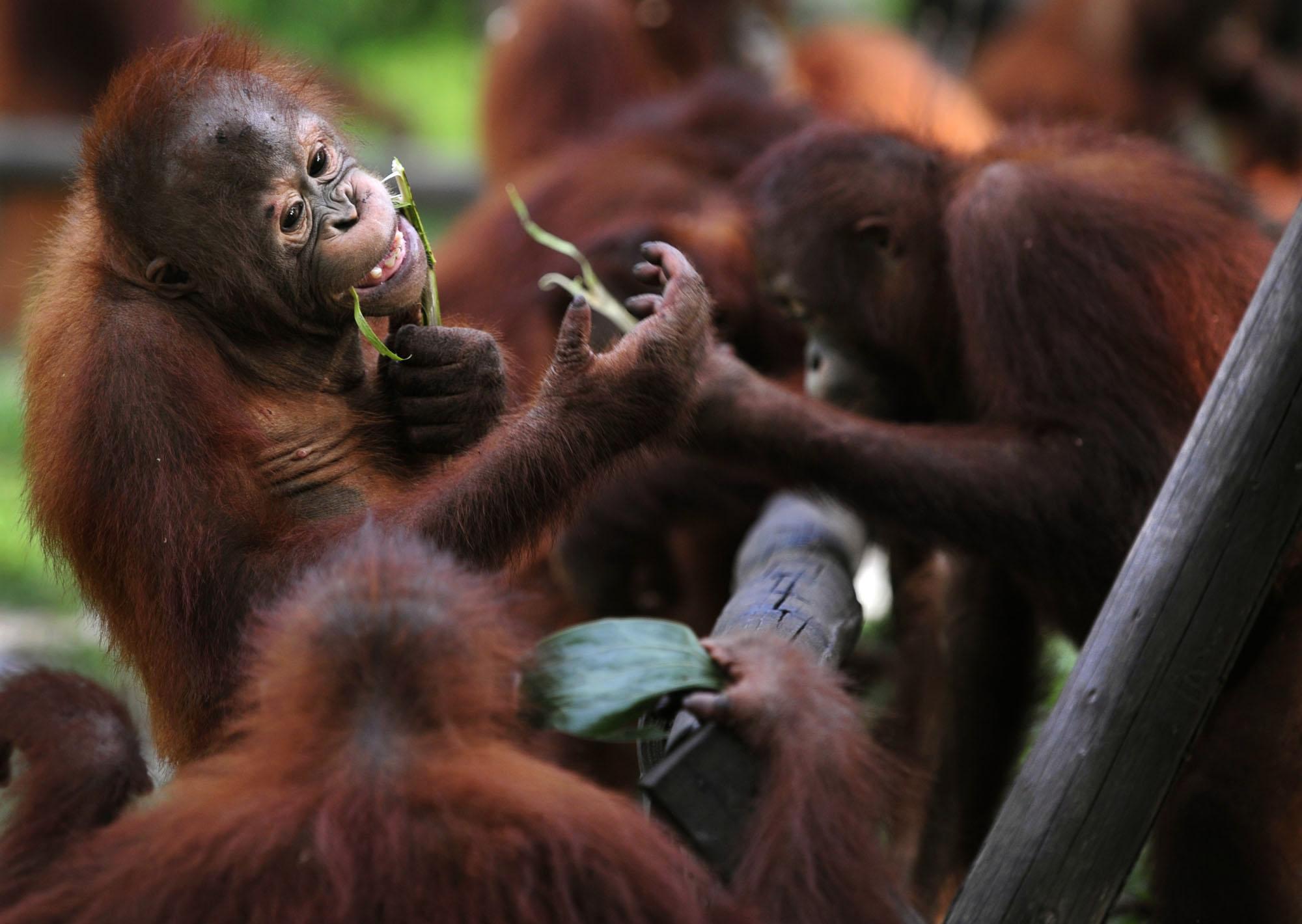 Orangutans make music with kazoos