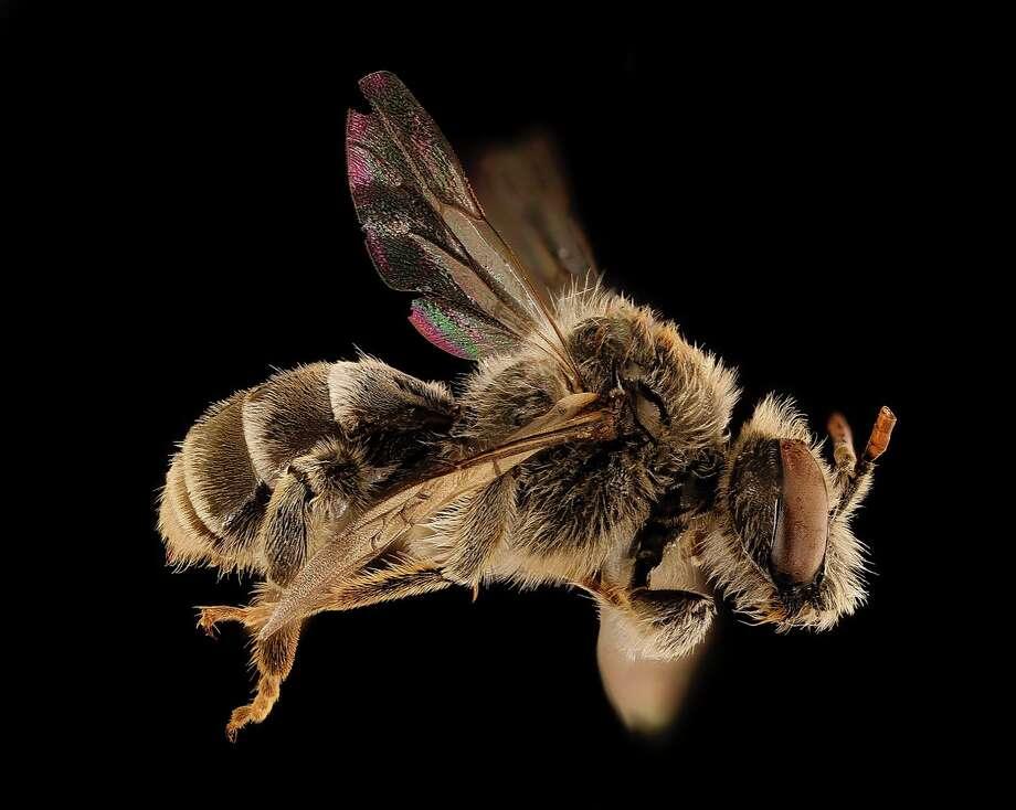 Cuckoo bee. Photo: Courtesy Photo/Wikimedia Commons