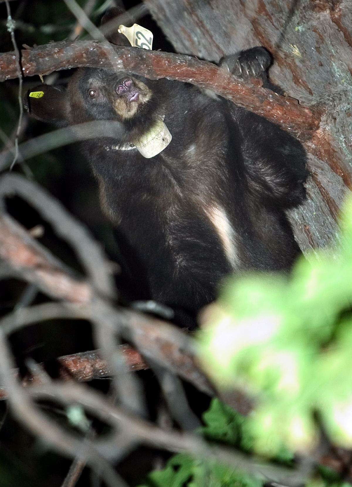 File image of a black bear. There were several sightings of a black bear in Monroe on Oct. 8, 2019, and local authorities are asking residents to exercise caution.