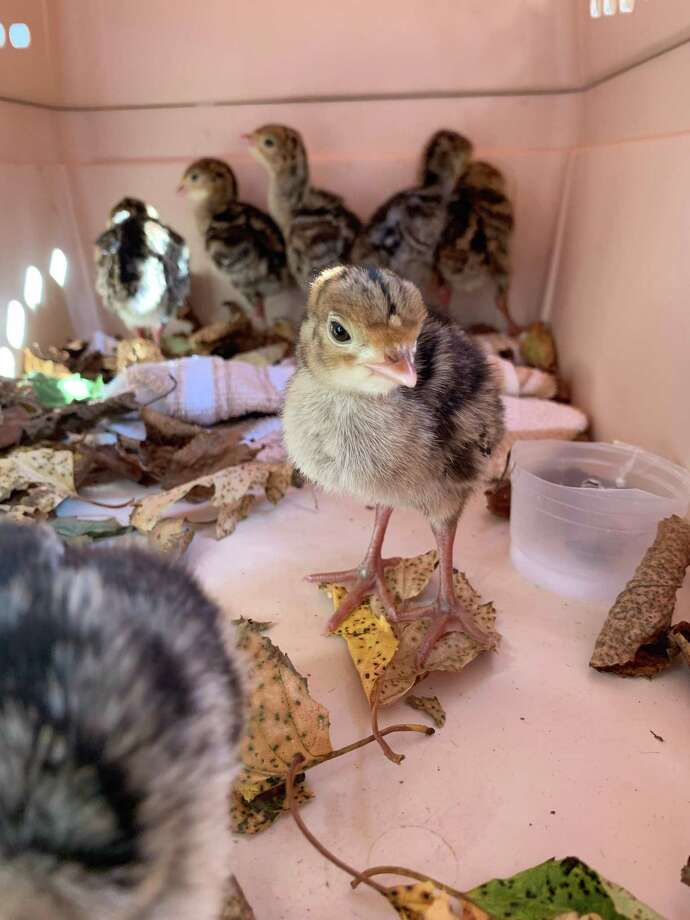 The baby turkeys helped by Animal Control Officer Mitch Gibbs. Photo: Hamden Police Department