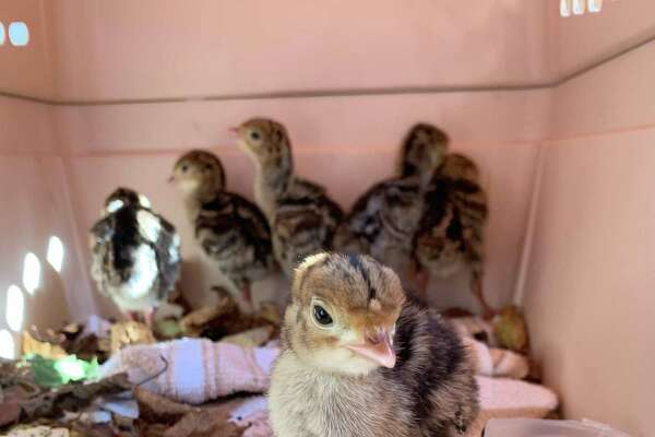 The baby turkeys helped by Animal Control Officer Mitch Gibbs.