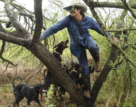 Gilbert Rosales, who plays the part of the decoy, is treed by coonhounds during a Texas Canine Tracking and Recovery training exercise near Refugio, Texas, on Tuesday, Sept. 24, 2019. Texas Canine Tracking and Recovery sends trained coonhounds to South Africa to aid in the fight against rhino poaching.