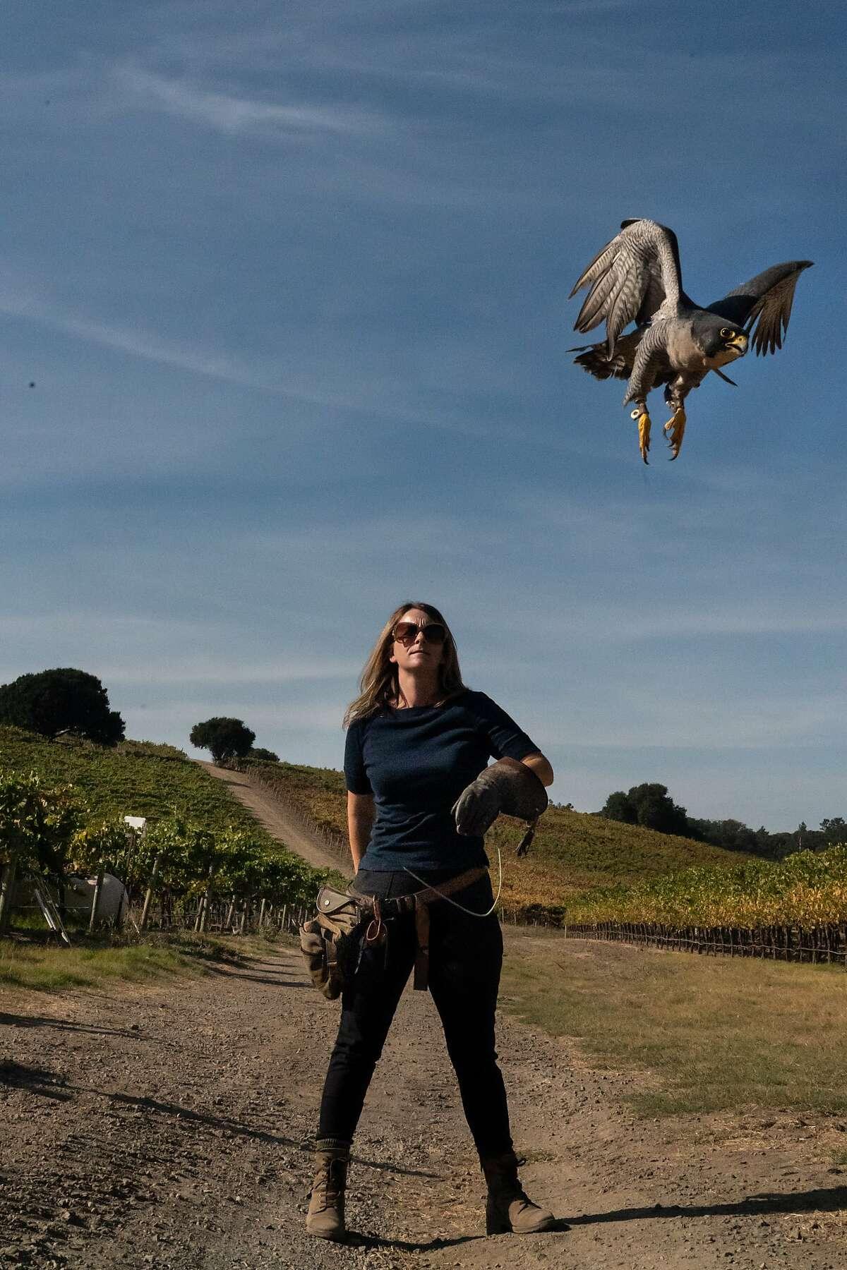 Rambo, a peregrine falcon, takes off from Rebecca Rosen on Saturday, Oct. 12, 2019, in Napa, Calif.