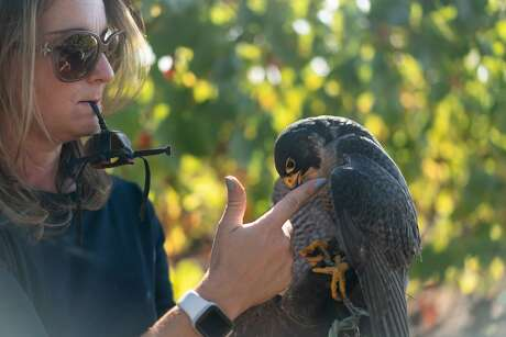 Rebecca Rosen prepares Rambo, a peregrine falcon, for his hood on Saturday, Oct. 12, 2019, in Napa, Calif.
