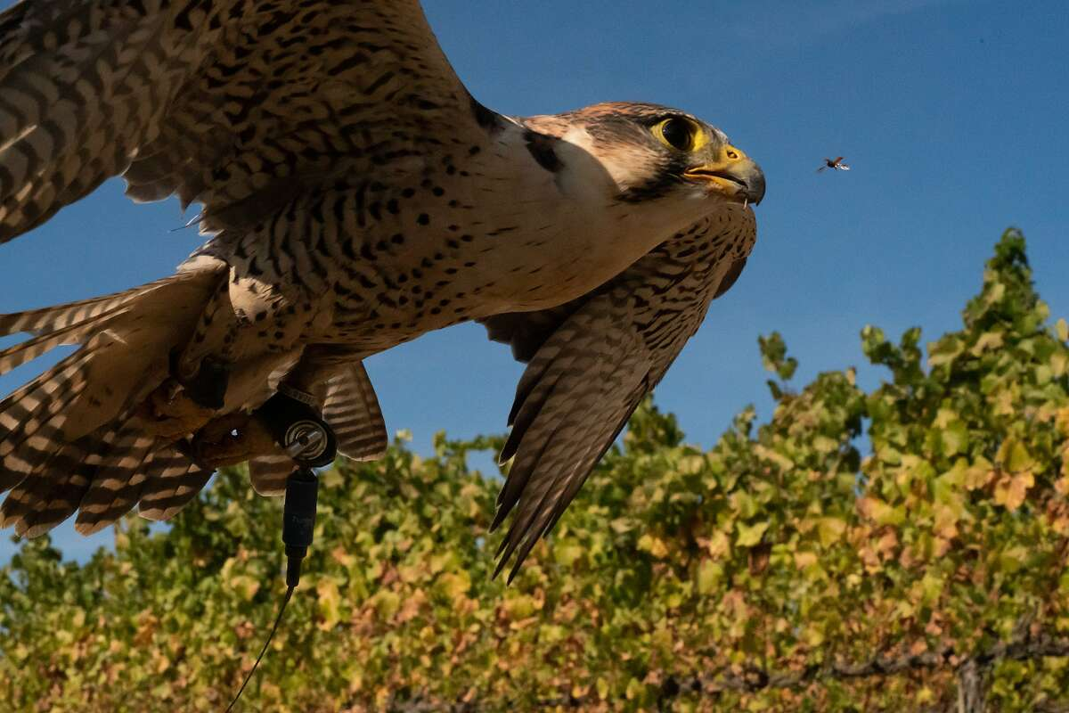 EB, a peregrine falcon, flies at a vineyard on Saturday, Oct. 12, 2019, in Napa, Calif. An insect flies by too.