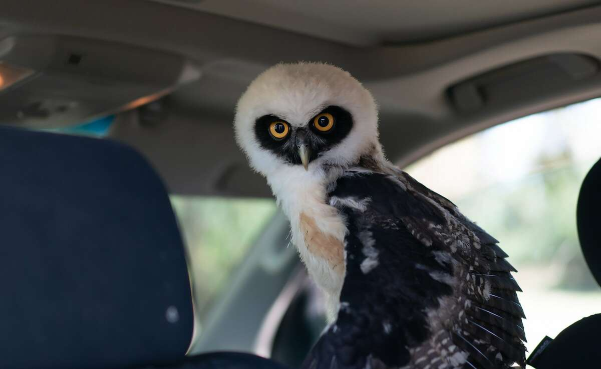 Rebecca Rosen's pet owl, Bubble, waits in her truck on Saturday, Oct. 12, 2019, in Napa, Calif. Rosen says Bubble is very needy.