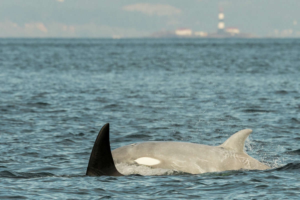 Tl'uk, a rare white whale, seen with other Bigg's killer whales in Salish Sea.