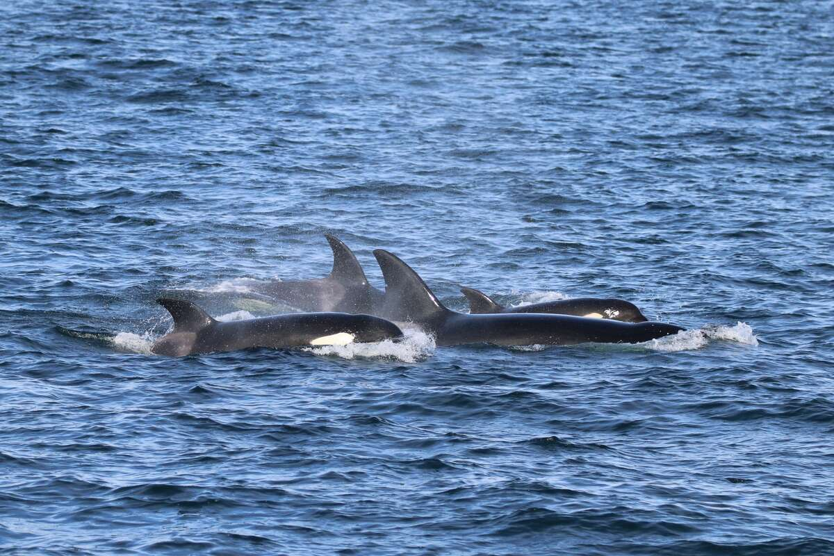 Bigg's killer whales were seen in the Salish Sea over the weekend.