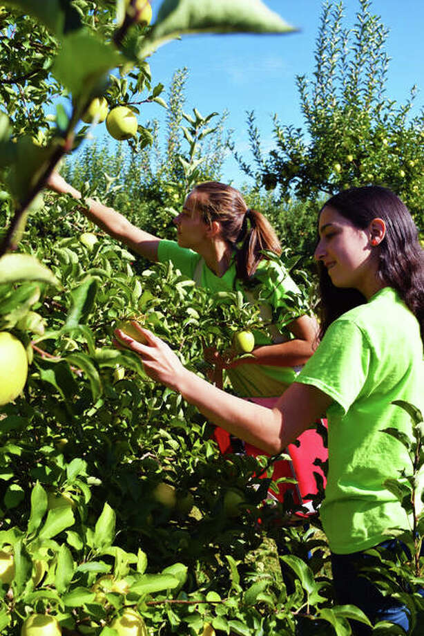 Liberty Apple Orchard employees Allie Fawbush (left) and Rachel Piazza pick apples to take to various farmer's markets. Photo: Tyler Pletsch | The Intelligencer