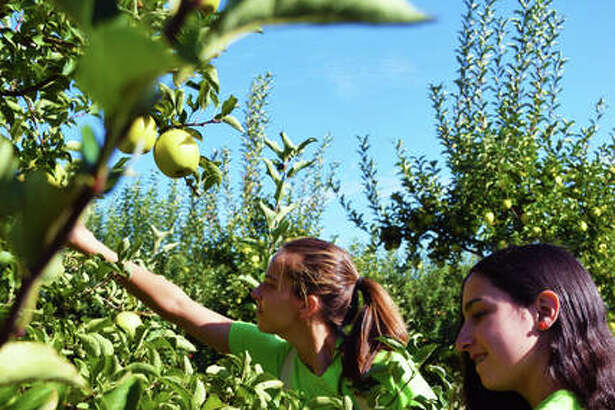 Liberty Apple Orchard employees Allie Fawbush (left) and Rachel Piazza pick apples to take to various farmer's markets.