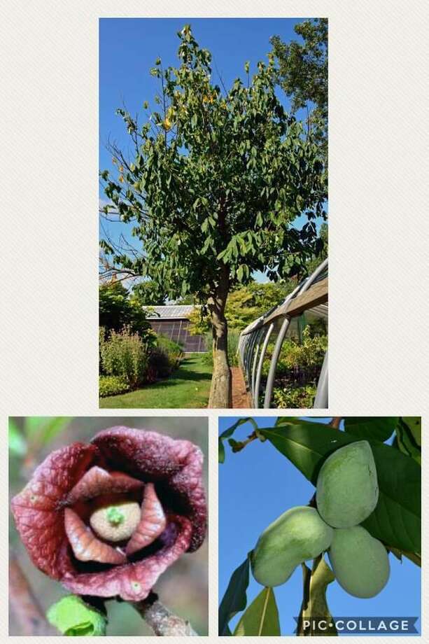 The pawpaw tree is the Notable Tree for October.