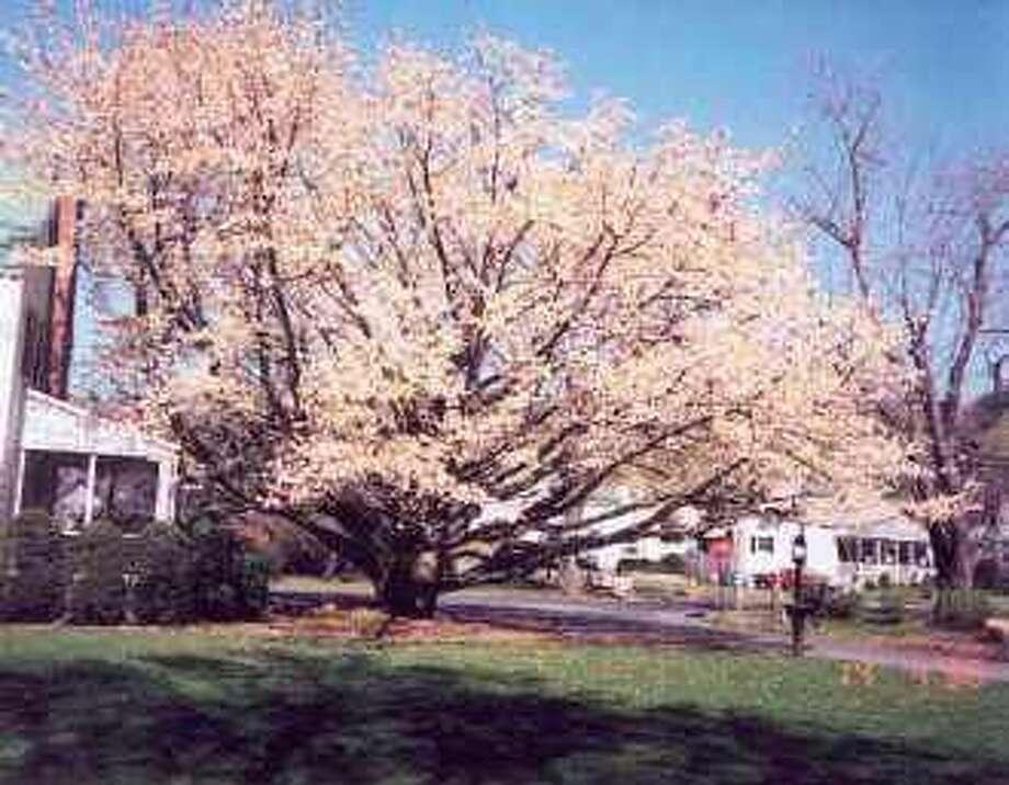 Hamden Home Of The True Steel Magnolia New Haven Register