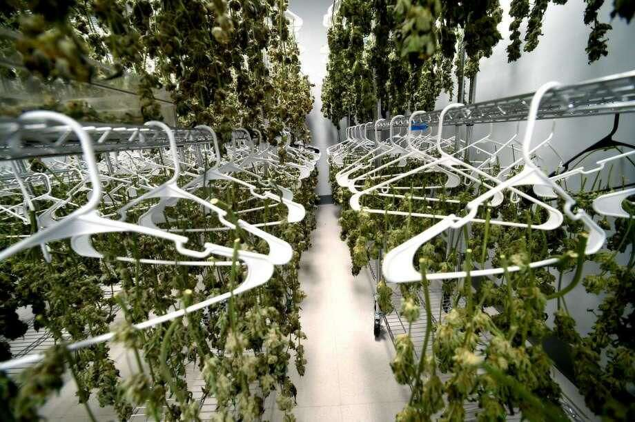 The former owner of an Eastern Connecticut medical-marijuana grow facility faces charges of taking marijuana from a curing room, similar to this photo, and dispensing it illegally to another employee.