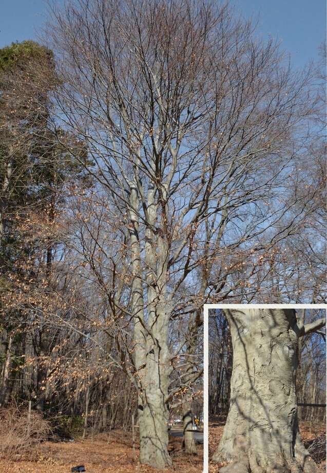 The Hamden Tree Commission has named this Copper European beech (Fagus sylvatica) as Hamden Notable Tree for the month of February, 2018.