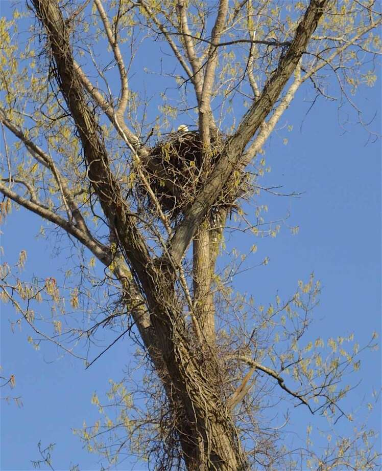 An eagle's nest in Hamden