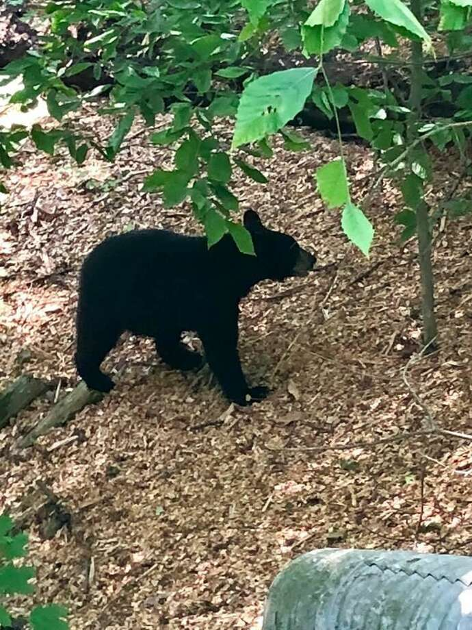 Residents are reminded to be vigilant as several black bears have been sighted in North Haven.